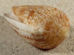 Conus armadillo PH 6,7cm *Unikat*