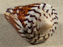 Conus generalis PH 8,6cm *Unikat*
