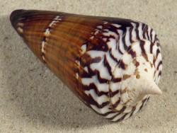 Conus generalis PH 8cm *Unikat*