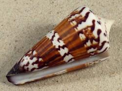 Conus generalis PH 8,1cm *Unikat*