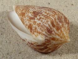 Conus armadillo PH 6,8cm *Unikat*