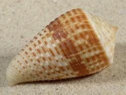Conus rolani PH 5cm *Unikat*