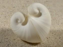 Meiocardia sp. cf. vulgaris PH 4cm *Unikat*