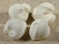 Meiocardia sp. cf. vulgaris PH 2,5+cm