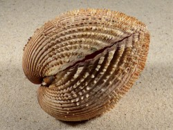 Acanthocardia spinosa HR 8,6cm *Unikat*