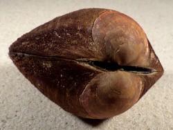 Glycymeris pilosa HR 8cm *Unikat*