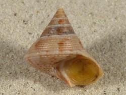 Calliostoma granulatum m/O FR-Mittelmeer 2,8cm *Unikat*