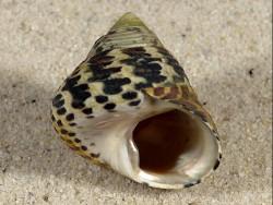 Phorcus turbinatus HR 2,8cm *Unikat*
