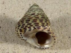Phorcus turbinatus HR 3,1cm *Unikat*