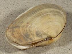 Thracia pubescens HR 8,7cm *Unikat*