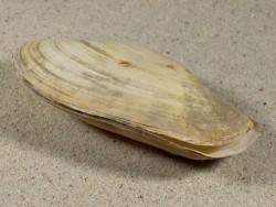Thracia pubescens HR 9,1cm *Unikat*