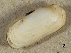 Solecurtus scopula HR 5,2+cm