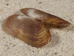 Azorinus chamasolen HR 3,1cm *Unikat*