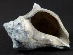 Melongena sarasotaensis Pliozän US 7,1cm *Unikat*