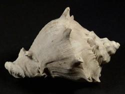 Melongena corona subcoronata Pliozän US 8,6cm *Unikat*