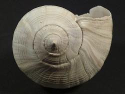 Sinistrofulgur caloosahatcheensis Pliozän US 7,9cm *Unikat*