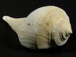 Sinistrofulgur adversarium Pliozän US 7,8cm *Unikat*