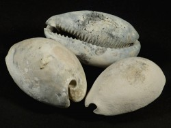Siphocypraea problematica Pliozän US 5+cm