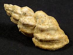 Narona varicosa Pliozän IT 2,3cm *Unikat*