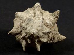 Hexaplex trunculus conglobatus Pliozän IT 4cm *Unikat*