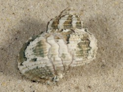 Turbo heterocheilus PH 2,6cm *Unikat*