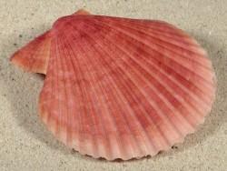 Mimachlamys sanguinea PH 7,8cm *Unikat*