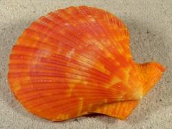 Mimachlamys sanguinea PH 7,7cm *Unikat*