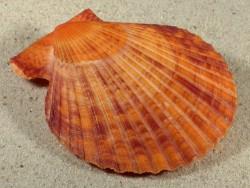Mimachlamys sanguinea PH 8,1cm *Unikat*