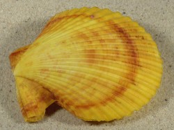 Mimachlamys sanguinea PH 7,6cm *unique*