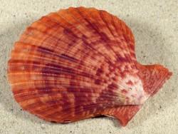 Mimachlamys sanguinea PH 7,9cm *Unikat*