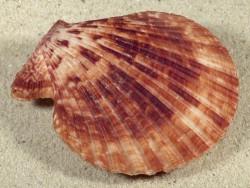 Mimachlamys sanguinea PH 7,2cm *Unikat*