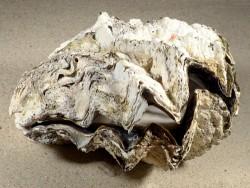 Hyotissa hyotis MG 15cm *Unikat*