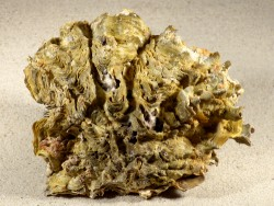Hyotissa hyotis MG 14cm *Unikat*