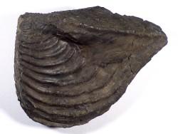 Trigonia triangularis Jurassic DE 9,6cm *unique*
