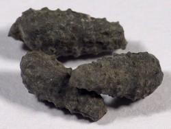 Cryptaulax armata Jura DE 1+cm