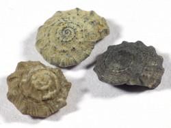 Nummocalcar sp.cf. polygonium Jurassic MA 0,8+cm