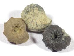 Nummocalcar sp.cf. polygonium Jura MA 0,8+cm