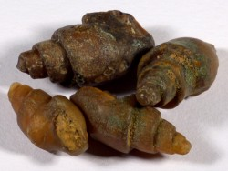 Agate Snail Eocene MA 1,8+cm