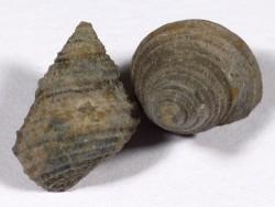 Oolithica meriani Jurassic FR 1,8cm