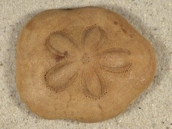 Clypeaster fervens *natur* PH 6+cm