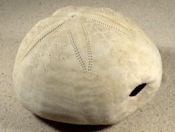 Spatangus purpureus HR 11,4 cm *Unikat*