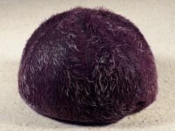Plesiozonus diomedeae m/Stacheln PH 9,3cm *Unikat*