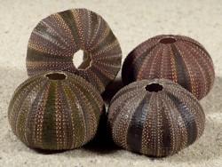 Mespilia globulus PH 2,7+cm