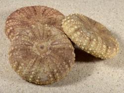 Chaetodiadema granulatum PH 5,3+cm