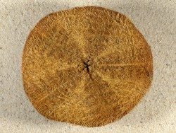 Clypeaster annandalei m/Stacheln PH 10,2cm *Unikat*