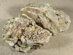 Crassostrea gigas NL 9+cm