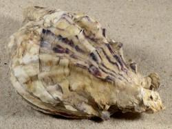 Crassostrea gigas DE-Nordsee 12cm *Unikat*