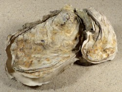 Crassostrea gigas DE-North Sea 12,7cm *cluster*