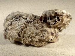 Crassostrea gigas DE-Nordsee 12,7cm *Cluster*
