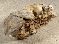 Crassostrea gigas NL 13cm *cluster*